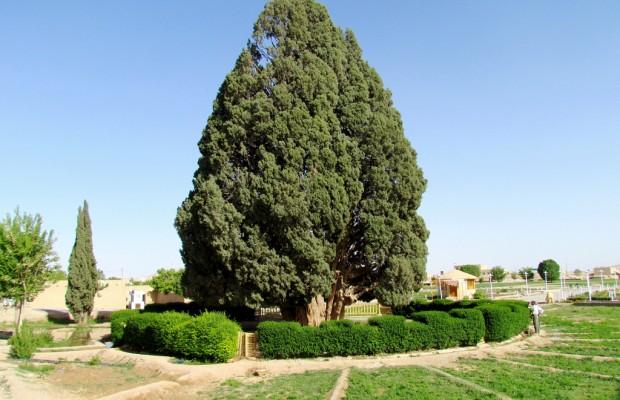 Sarv-e Abarkuh-Yezd- İran