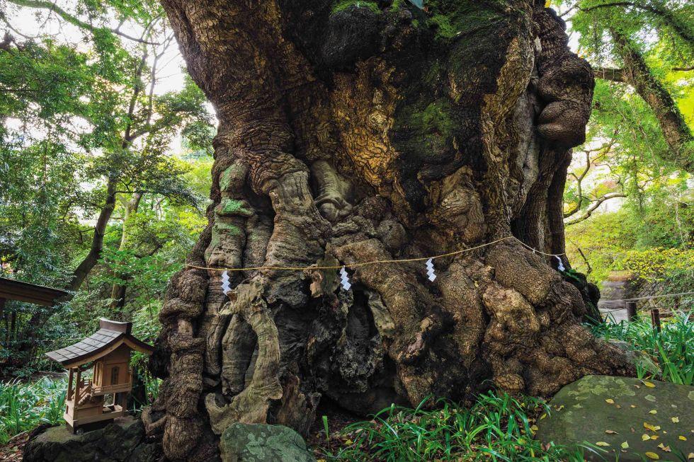 Kutsal Kafur Ağacı Japonya