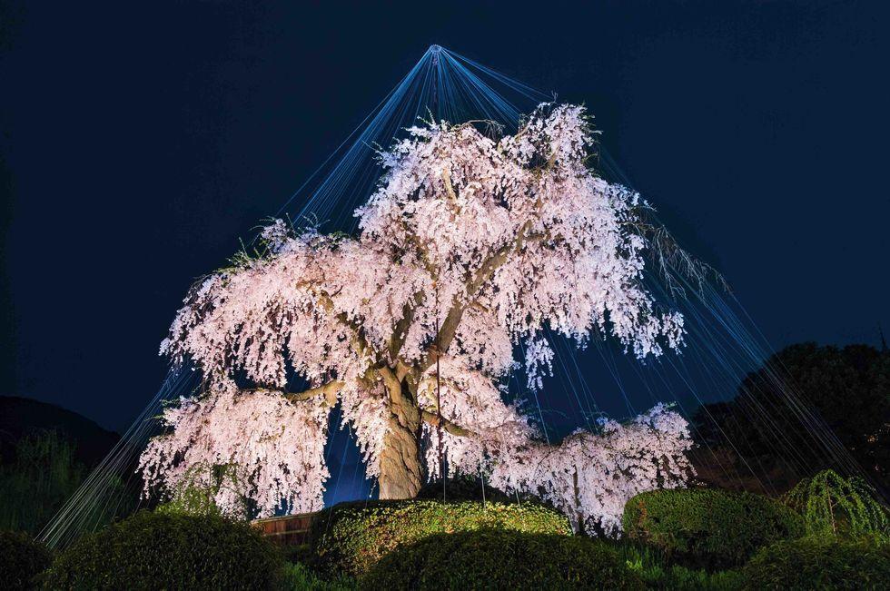 Maruyama-Kiraz Ağacı-Japonya