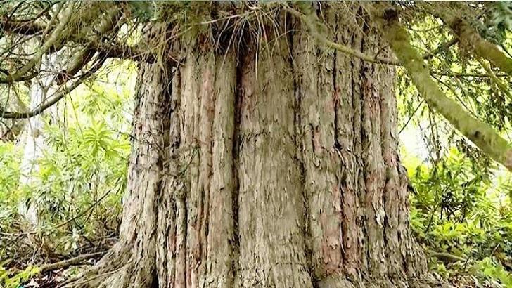 Porsuz Ağacı Zonguldak
