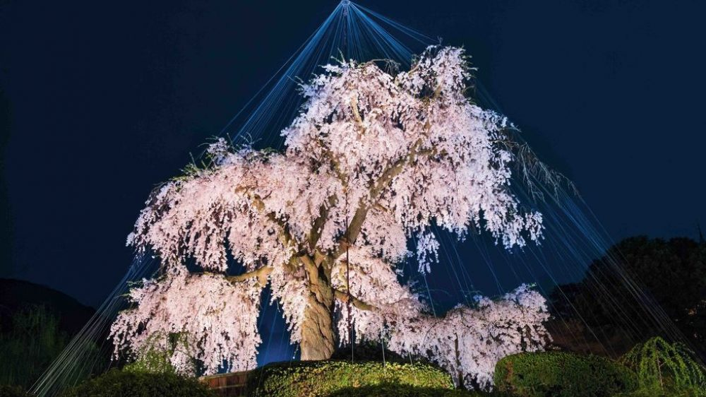 Dünyadaki En Eski ve Bilge Ağaçlar-Dünyanın En Eski Ağaçları